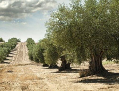 Oliven Herkunft: Spanien, Italien und Griechenland – Die Unterschiede