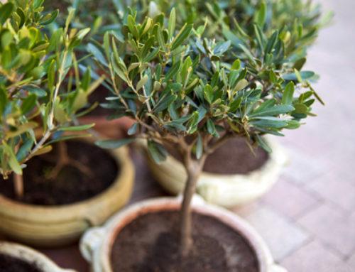 Einen eigenen Olivenbaum pflanzen – so gelingt es!