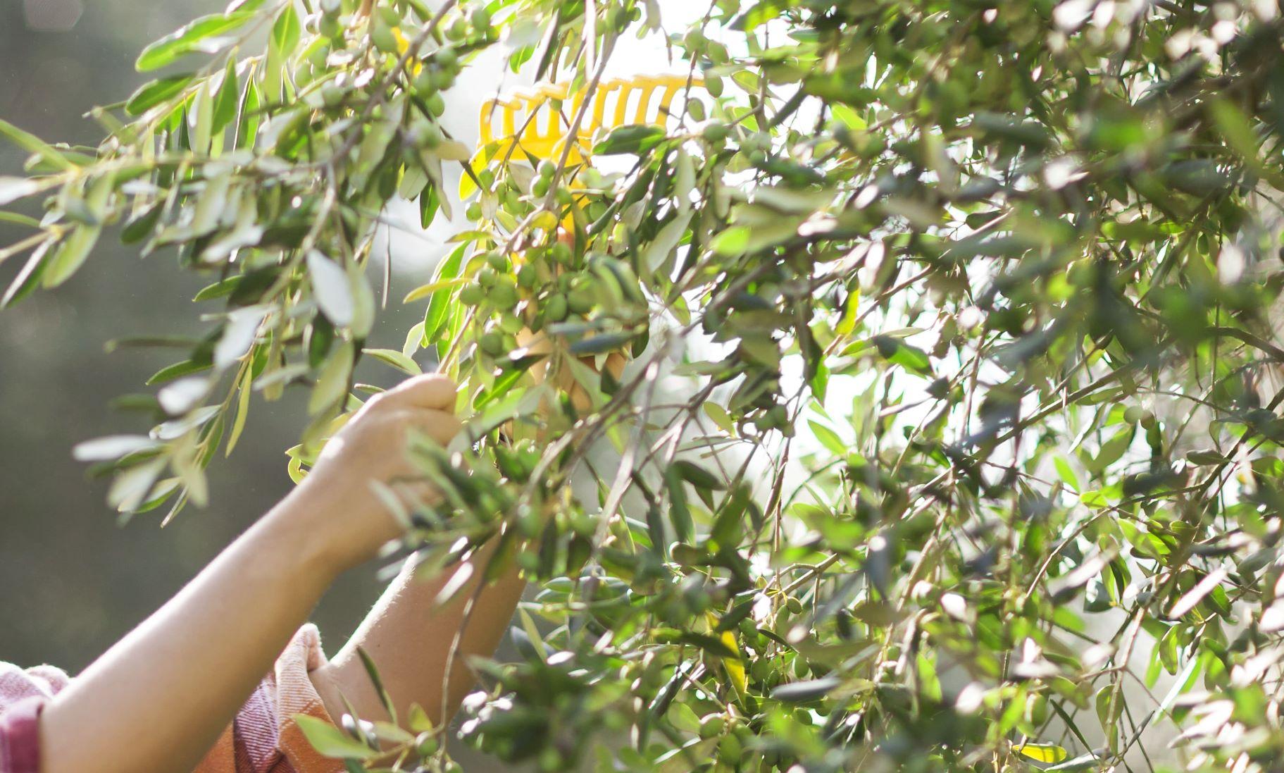 Nachhaltigkeit - Olivenölernte bei BERTOLLI per Hand