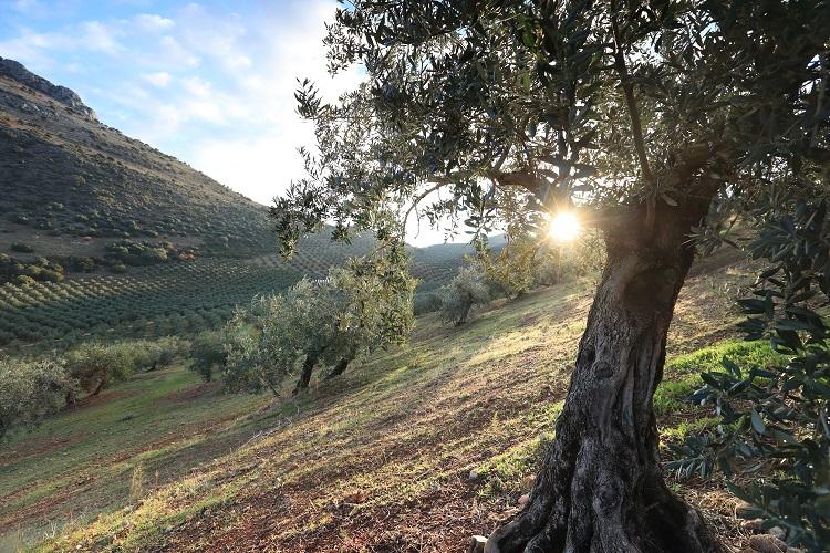 Olivenöl Sommelier kennt die Anbaugebiete