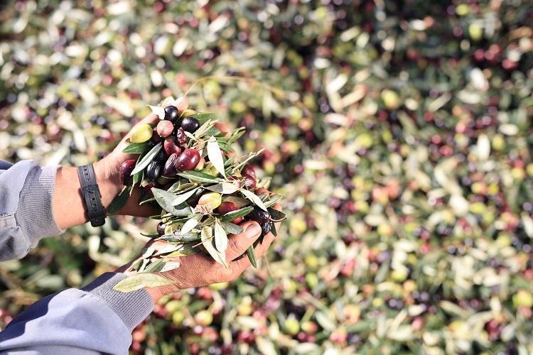Olivenöl Sommelier fühlt, riecht und schmeckt