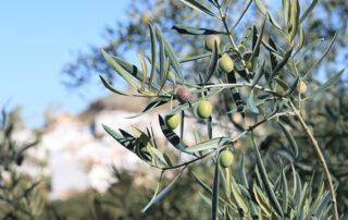 Olivenernte bei Bertolli