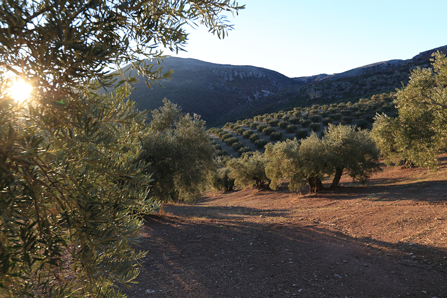 Olivenhain von Bertolli